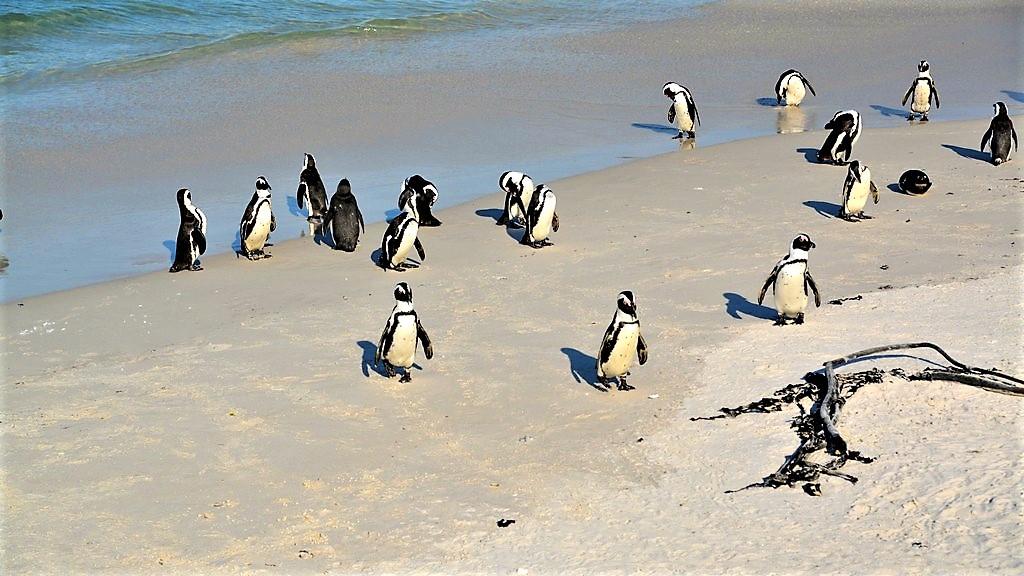 Pinguine am Boulders Beach Kapstadt Informationen und Tips